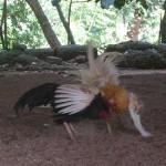 A Cockfight